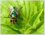 Title: Green Bottle Fly