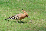 Title: Hoopoe at Work