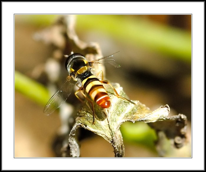 Hoverfly With A Broken Wing