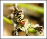 Title: Hoverfly With A Broken Wing