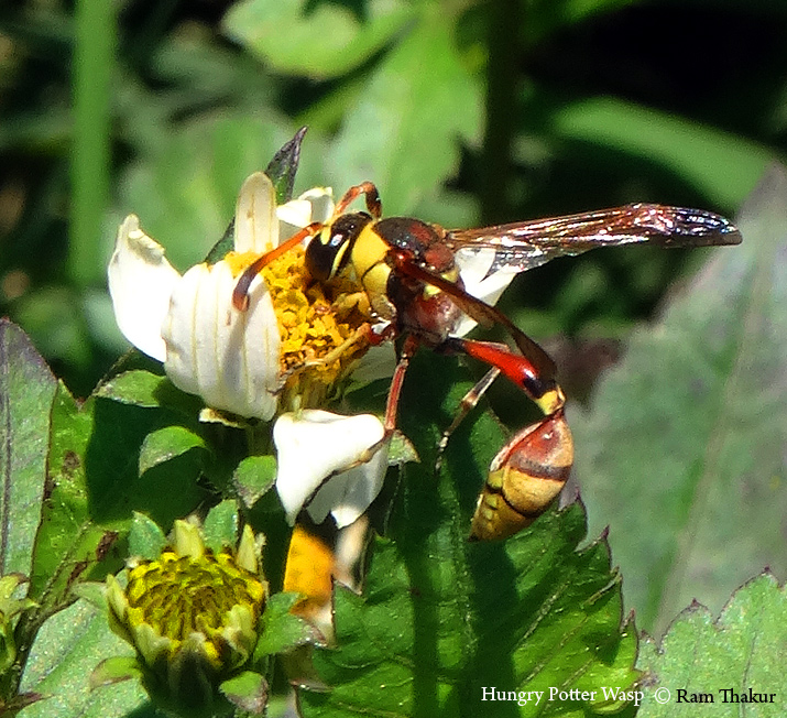 Hungry Potter Wasp