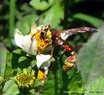 Title: Hungry Potter Wasp