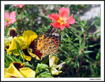 Title: Indian Fritillary