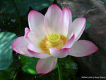 Title: Indian Lotus