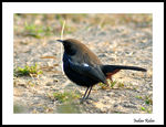 Title: Indian Robin