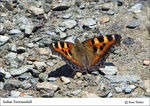 Title: Indian Tortoiseshell