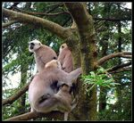 Title: Indian Langur Family II