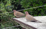 Title: Laughing Doves
