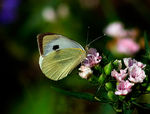 Title: Large Cabbage White