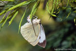 Title: Large Cabbage White Ovipositing