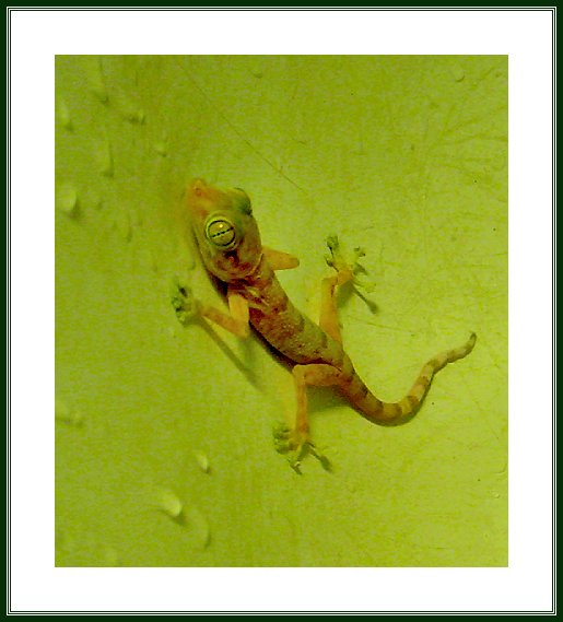 IN-HOUSE GECKO