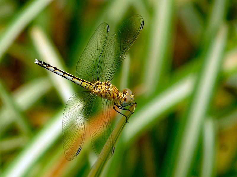 Long-legged Marsh Glider