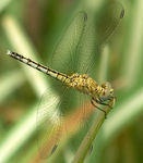 Title: Long-legged Marsh Glider