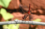 Title: Crocothemis servilia Male