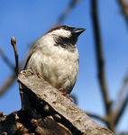 Title: Male House Sparrow
