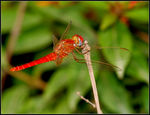 Title: Scarlet Skimmer for SilpaNikon D200