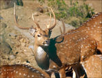 Title: Male Spotted Deer