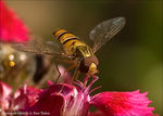Title: Marmalade Hoverfly