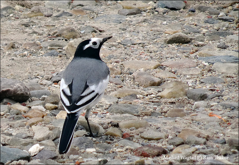 Masked White Wagtail
