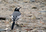 Title: Masked White Wagtail