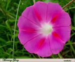 Title: Morning Glory