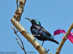 Title: Male Purple Sunbird