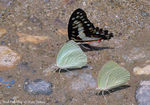Title: Mud-puddling Butterflies