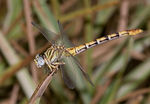 Title: Common Oartail