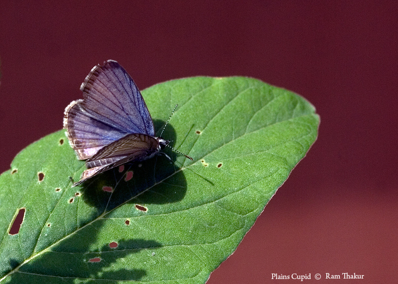 Plains Cupid on Leaf