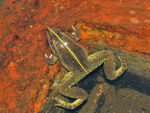 Title: Common Paddyfield Frog