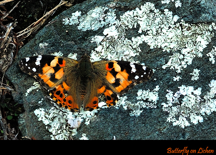 Painted Lady on the Rock