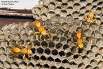 Title: Paper Wasp Nest