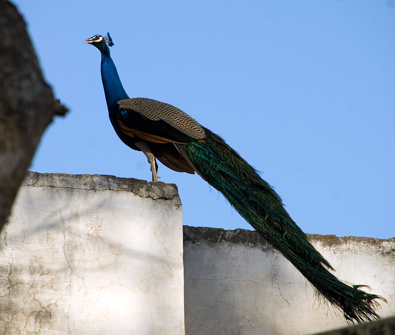 Peacock on A Hot Concrete Roof