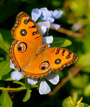Title: Another Peacock Pansy Camera: Nikon D200