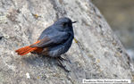 Title: Plumbeous Water Redstart