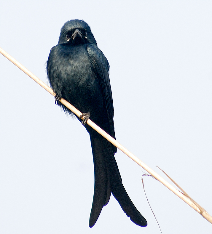 Portrait of a Black Drongo