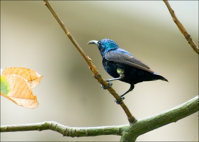 Male Purple Sunbird