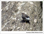 Title: Plumbeous Water Redstart Female