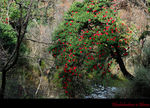 Title: Rhododendron Tree