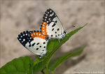 Title: Mating Red Pierrot