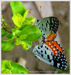 Title: Red Pierrot Mating