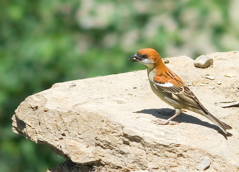 Russet Sparrow