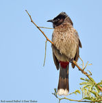 Title: Red-vented Bulbul