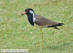 Title: Red-wattled Lapwing