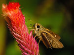 Title: Brown Skipper