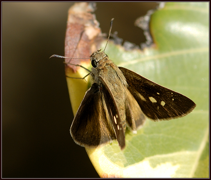 Skipper on Leaf
