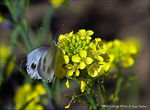 Title: Small Cabbage White