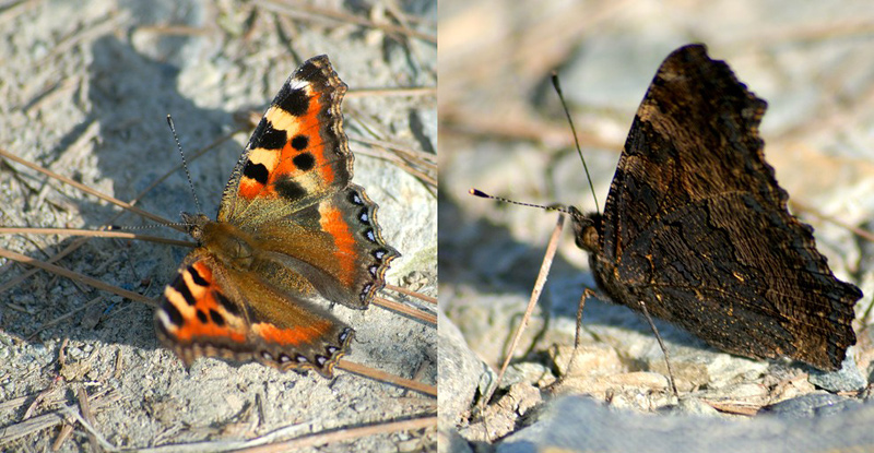 Two Faces of Tortoiseshell