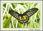 Title: Southern Birdwing