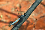 Title: Southern Skimmer Male